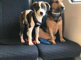 Saluki greyhound cross