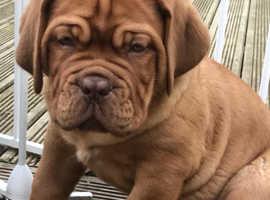 Quality Dogue De Bordeaux pup ready to go now