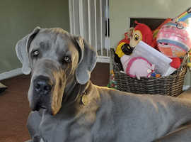 20 month old Great Dane