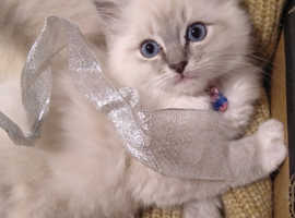 Beautiful Ragdoll Blue mitted Tabby