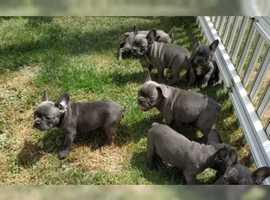 Gorgeous DNA French bulldog puppies