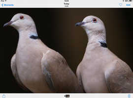 Wanted collered doves .