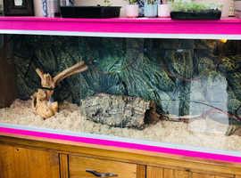 Snake tank and cornsnake