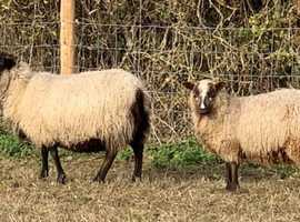 2 Shetland sheep for sale