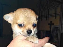 Fab Sweet Chihuahua