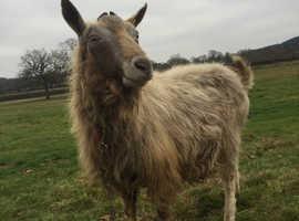 gothenburg male goat