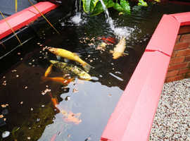 Various large koi