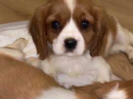 3 cavalier puppies left
