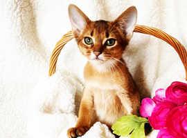 Outstanding Abyssinian kittens
