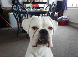 Pedigree White Male Boxer Dog