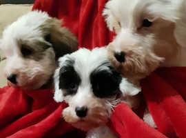Sealyham terrier pups for sale