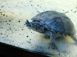 musk turtles X2