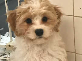 One extremely cute Cavachon pup