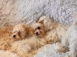 4 Cavachon Health Checked Puppies