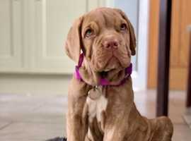Beautiful mastiff puppy female ready now for good home