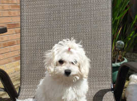 Beautiful small KC Registered  Maltese  Puppy