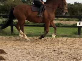 18hh Irish draught x Clydesdale