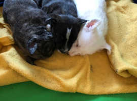 Two beautiful jack Russell X westie pups for sale