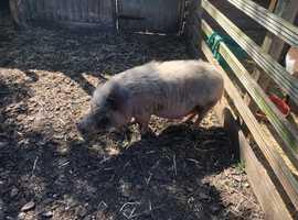 Male micro pig