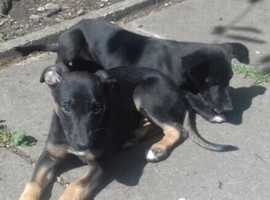 Whippet Lurcher pups for sale