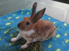 Mini Rex bunnies 13 wks old