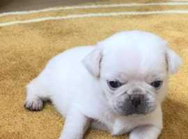 kc white and fawn pug puppies