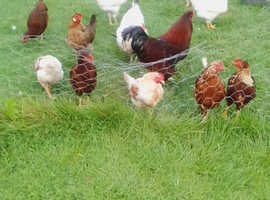 Hens for sale 8.00