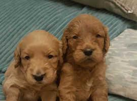 Find Goldendoodles (Golden Retriever cross Poodle) For Sale in