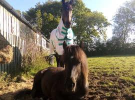 Willow- Dartmoor pony for sale.