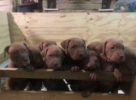 XL bully puppies