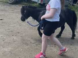 Super Shetland gelding looking for a home