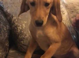 Beagle X girl