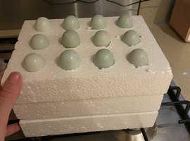 Celadon hatching eggs