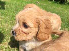 Find Cavapoo Dogs Puppies For Sale In Surrey Freeads