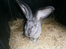 Pure Continental Giants Kits - fully vaccinated - reserve