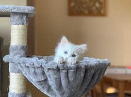 Gorgeous white fluffy kitten