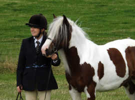 13.2 cute pony for part loan Ringstead, Northants