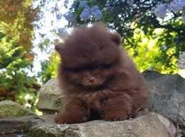 Unbelievable super tiny Pomeranian bear face! Truly rare colour