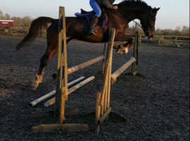 Stunning 16.2 irish mare