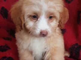 Most Extensively***Fully Health Tested F1 Cockapoo Pup***Superb Family Pets Ready Now.