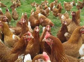 Free range hens for sale