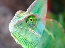 Yeman chameleons