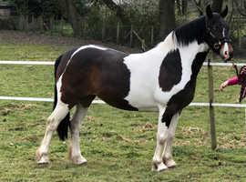 Top class HOYS quality mare