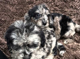 Litter of cockapoo puppys