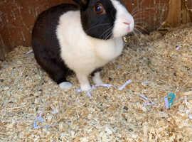 Female Dutch rabbit for sale