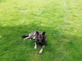 Shadowoulf German Shepherd