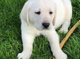 Stunning goldador pups