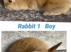8 baby lion head bunny rabbits