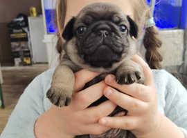 KC reg pup puppies