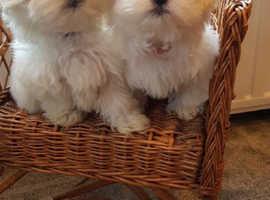2 Lovely Maltese Puppies